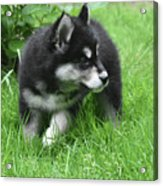 Eight Week Old Alusky Puppy On A Summer Day Acrylic Print