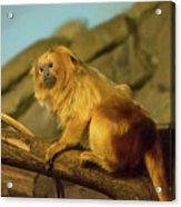 El Paso Zoo - Golden Lion Tamarin Acrylic Print by Allen Sheffield
