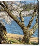 Elder Cherry Tree Acrylic Print