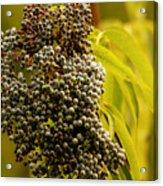 Elderberry Acrylic Print