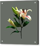 Elegant Lily And Buds Acrylic Print