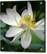 Elegant Lotus Acrylic Print