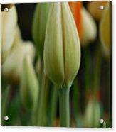 Elegant Tulip Acrylic Print
