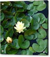 Elegant Water Lily Acrylic Print