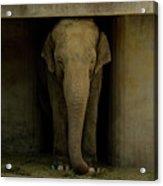Elephant #1 Acrylic Print