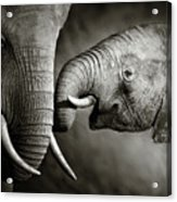 Elephant Affection Acrylic Print