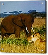 Elephant And The Lions Acrylic Print