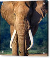 Elephant Approaching Acrylic Print by Johan Swanepoel