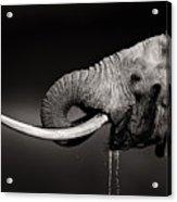 Elephant Bull Drinking Water - Duetone Acrylic Print