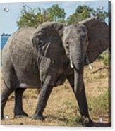 Elephant Crossing Dirt Track Facing Towards Camera Acrylic Print
