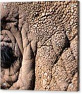 Elephant Eye Closeup  Acrylic Print