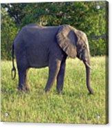 Elephant Feeding Acrylic Print