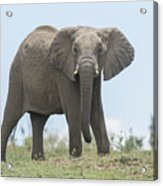 Elephant Forward On Mound Acrylic Print