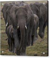 Elephant Herd Acrylic Print