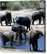 Elephant Pool Acrylic Print