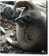 Elephant Seal Acrylic Print
