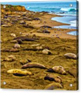 Elephant Seals Near Cambria  Acrylic Print