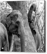 Elephant Tree Black And White  Acrylic Print