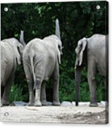 Elephant Trio Acrylic Print