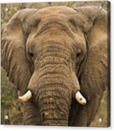Elephant Watching Acrylic Print
