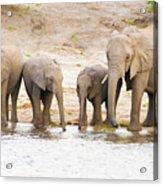 Elephants At The Bank Of Chobe River In Botswana Acrylic Print
