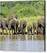 Elephants At The Waterhole   Acrylic Print