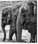 Elephants Bw Acrylic Print