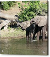 Elephants Drinking In Sinc Acrylic Print