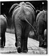 Elephants In Black And White Acrylic Print