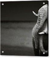 Elephants Interacting Acrylic Print