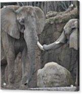 Elephants Playing 3 Acrylic Print
