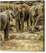 Elephants Social Acrylic Print