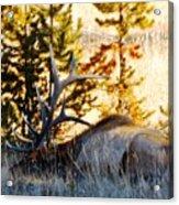 Elk Als Yellowstone Acrylic Print
