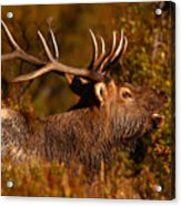 Elk Bull Bugling In Autumn Woodlands Acrylic Print