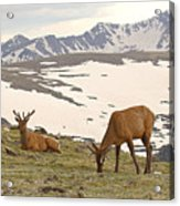 Elk Bulls In The Highlands Of Colorado Acrylic Print