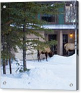 Elk Come Calling Acrylic Print