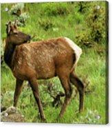 Elk Doe Acrylic Print