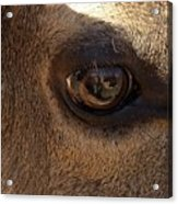 Elk Eye Close Up Acrylic Print