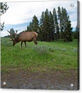 Elk Feeding Acrylic Print