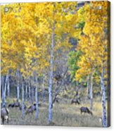 Elk In Rmnp Colorado Acrylic Print