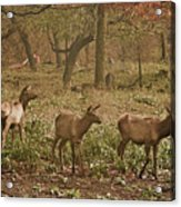 Elk In The Early Morning Acrylic Print