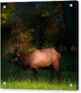 Elk In The Smokies. Acrylic Print by Itai Minovitz