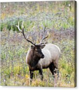 Elk In Wildflowers #1 Acrylic Print