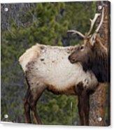 Elk Looking Back Acrylic Print