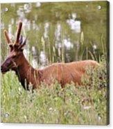 Elk Of Jasper... Acrylic Print