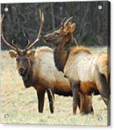 Elk Pair Acrylic Print