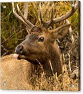 Elk Raspberry For Tom Acrylic Print