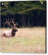 Elk Sitting Down Acrylic Print