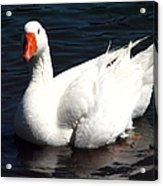Embden Goose 2 Acrylic Print