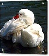 Embden Goose 4 Acrylic Print